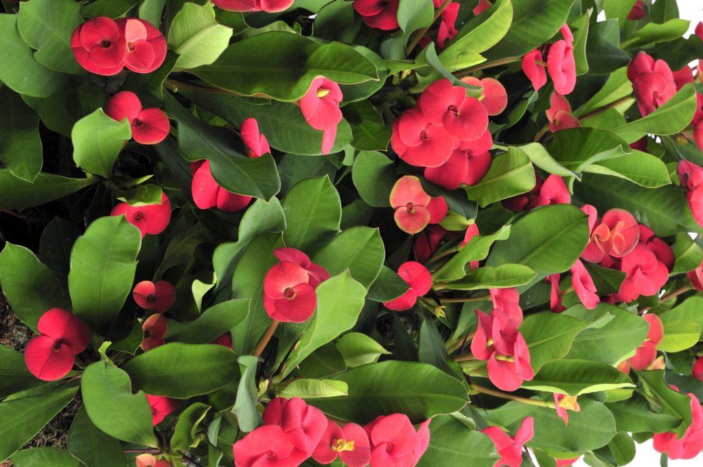 La pianta di stagione si chiama Euphorbia milii