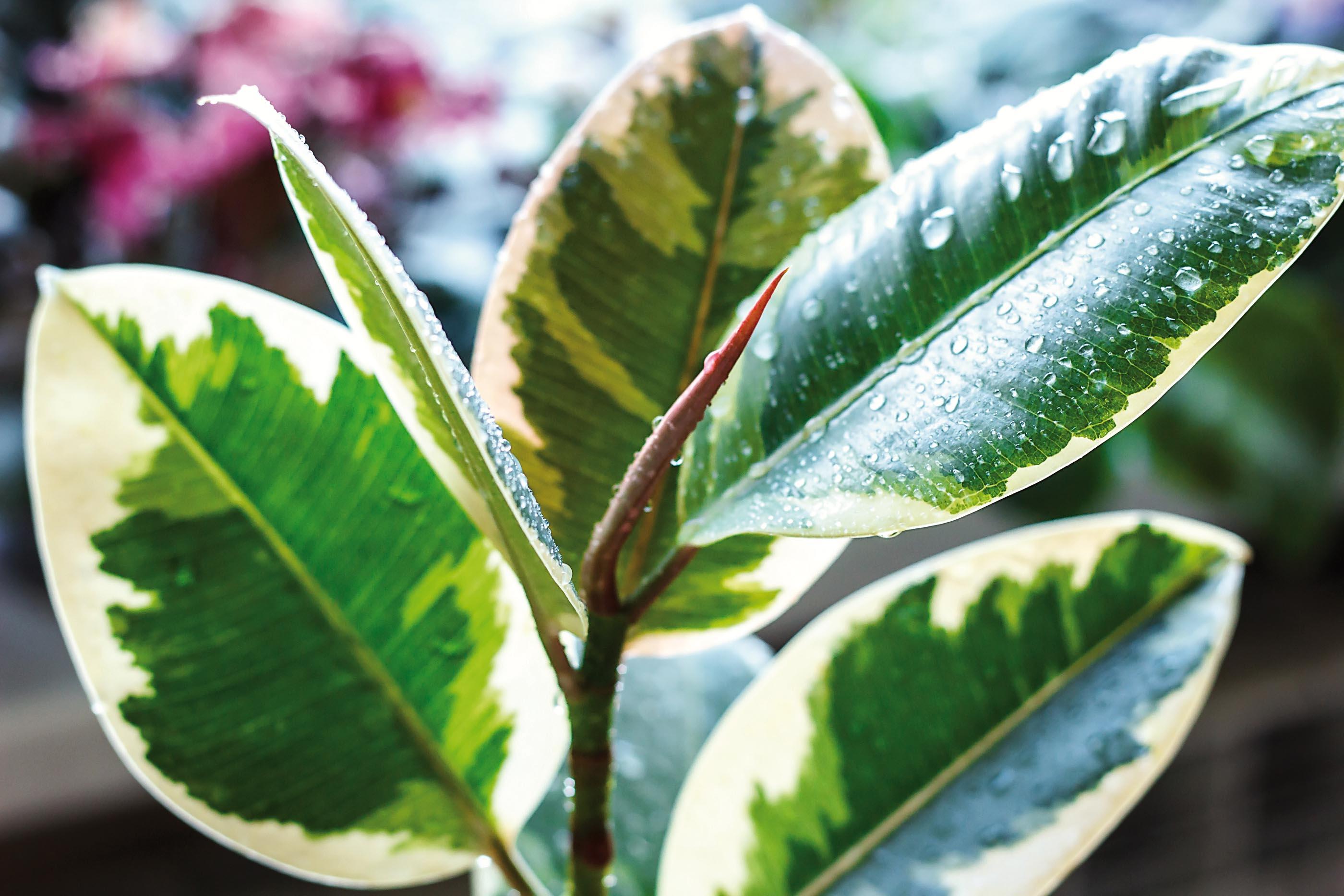 Potare Il Ficus Elastica ficus robusta, la pianta del mese di settembre - www.stile.it