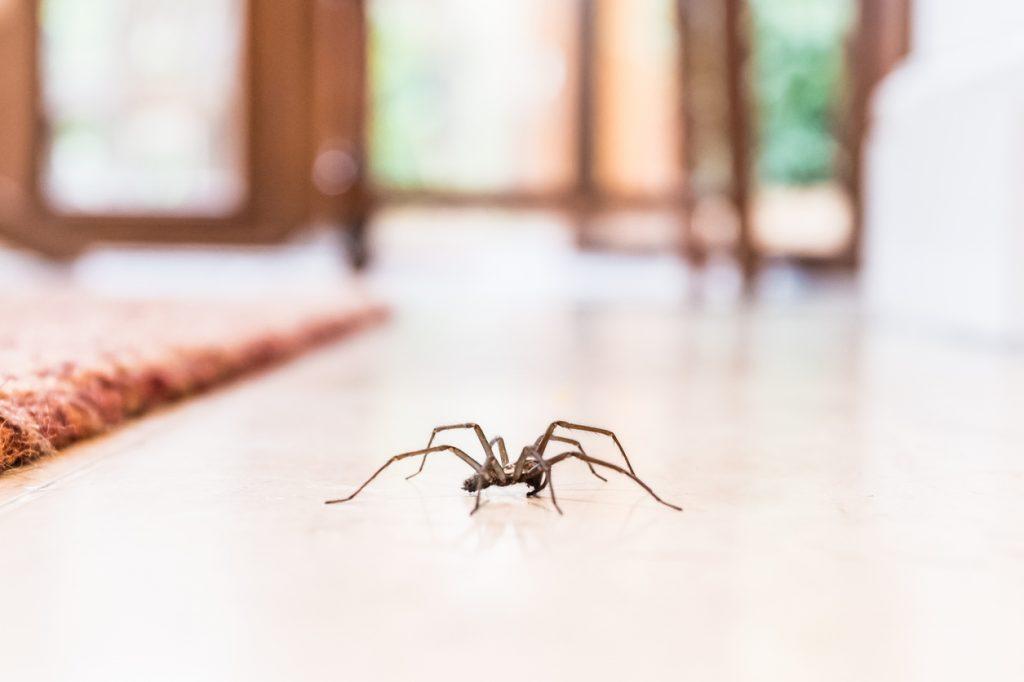 fastidiosi ragni