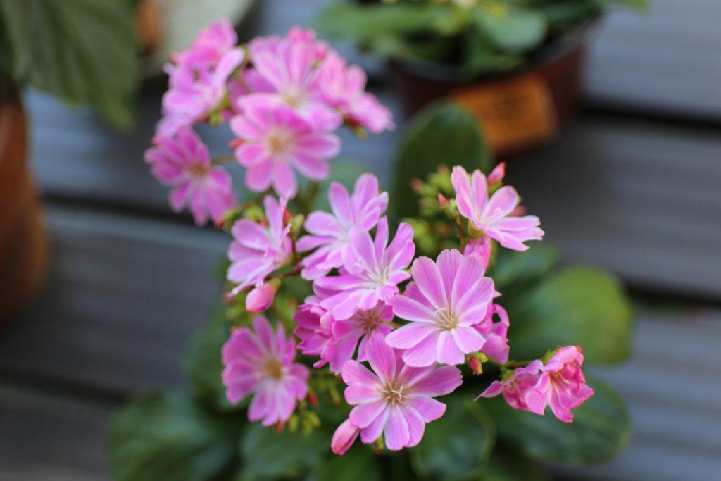 Lewisia, come coltivare i deliziosi fiorellini