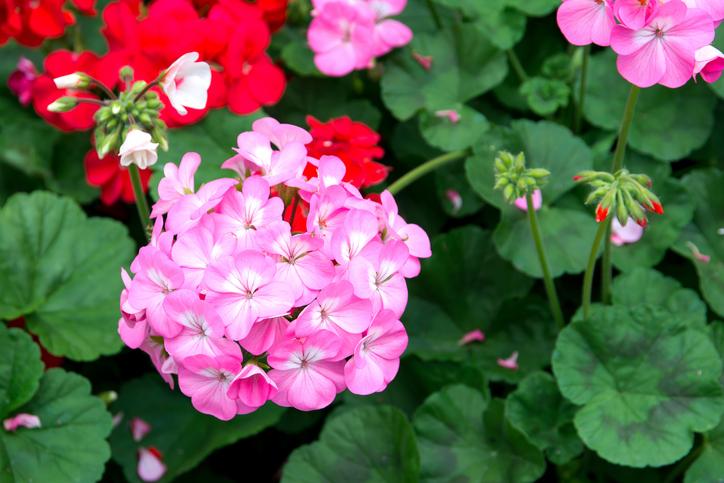 Il geranio, pianta 'rilassante' e decorativa