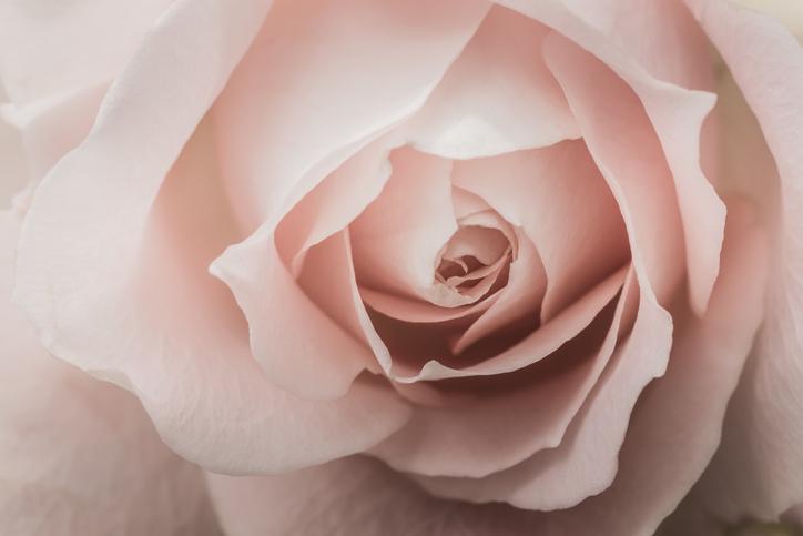 Le rose sono le regine della primavera