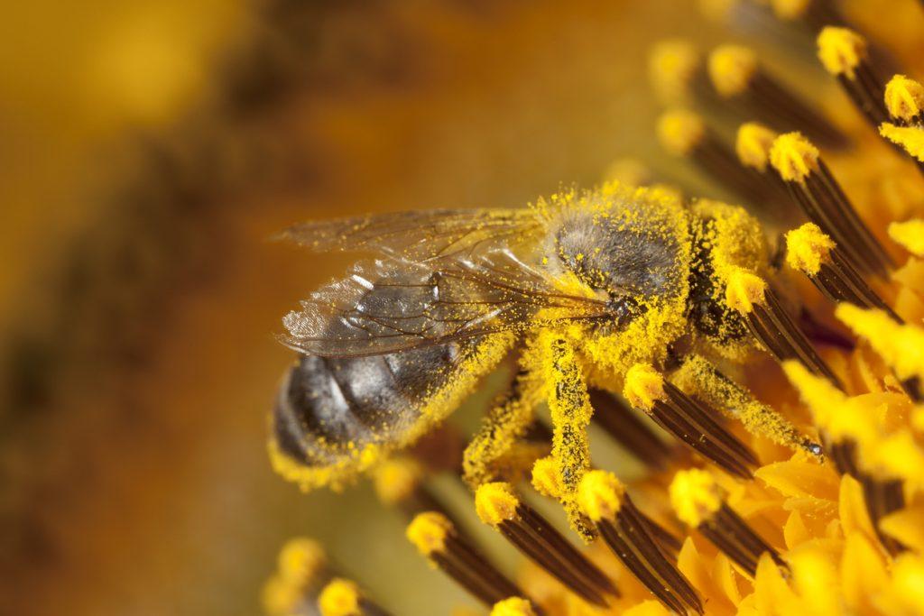 macchie di polline